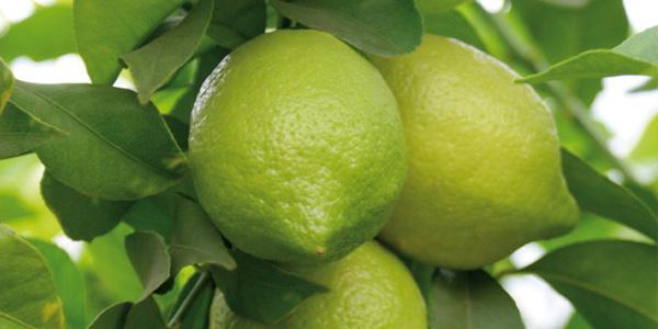 limones-img6