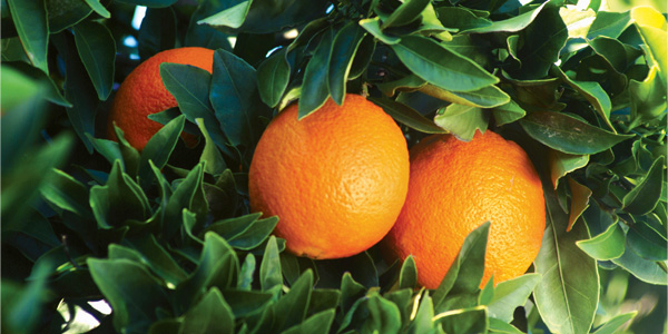 naranjas-img5